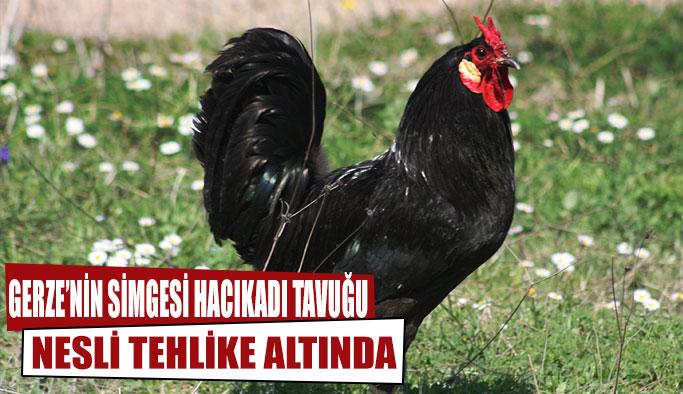 Gerze Tavuğu TRT Haber'de
