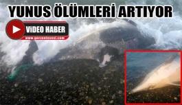 Gerze sahillerinde yunus ölümleri devam ediyor