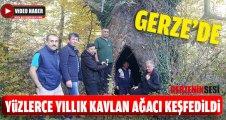 Gerze'de Yüzlerce Yıllık Ağaç Keşfedildi